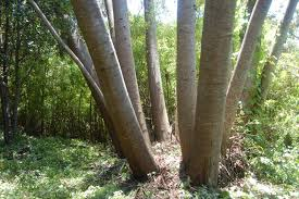 eucalyptus trunks